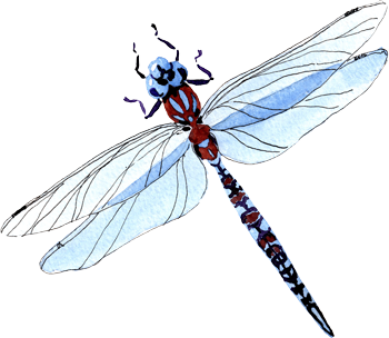 Watercolor illustration of a blue and maroon dragonfly