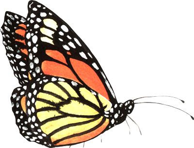 Orange and Yello monarch butterfly