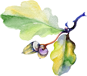 watercolor illustration of oak leaf with acorns