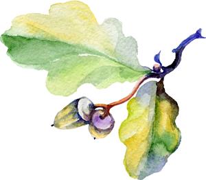 watercolor illustration of oak leaf with acorns